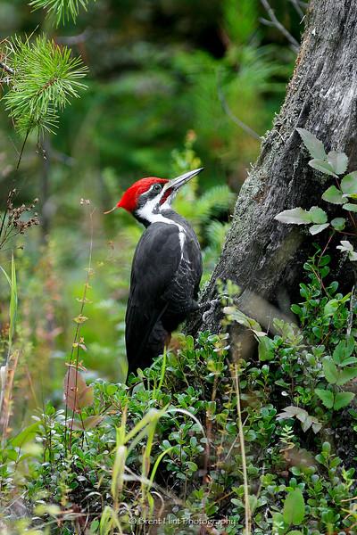 DF.565 - pileated woodpecker on stump, Bonner County, ID.
