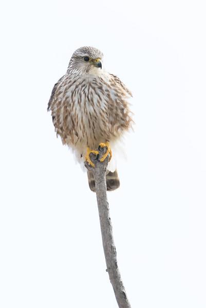Merlin, Falco columbarius, on a perch in southern Alberta, Canada.