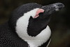 African penguin profile