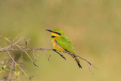 Littele Bee-eater