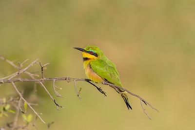 Littele Bee-eater