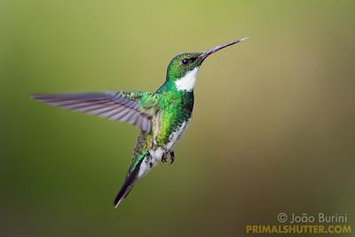White throated humming bird in flight