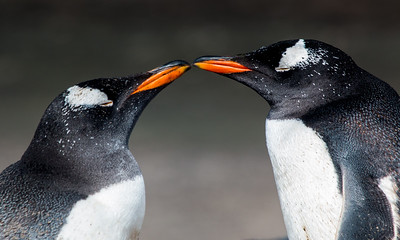 Pair of Gentoo Penguins, Sea Lion Island, Falklands