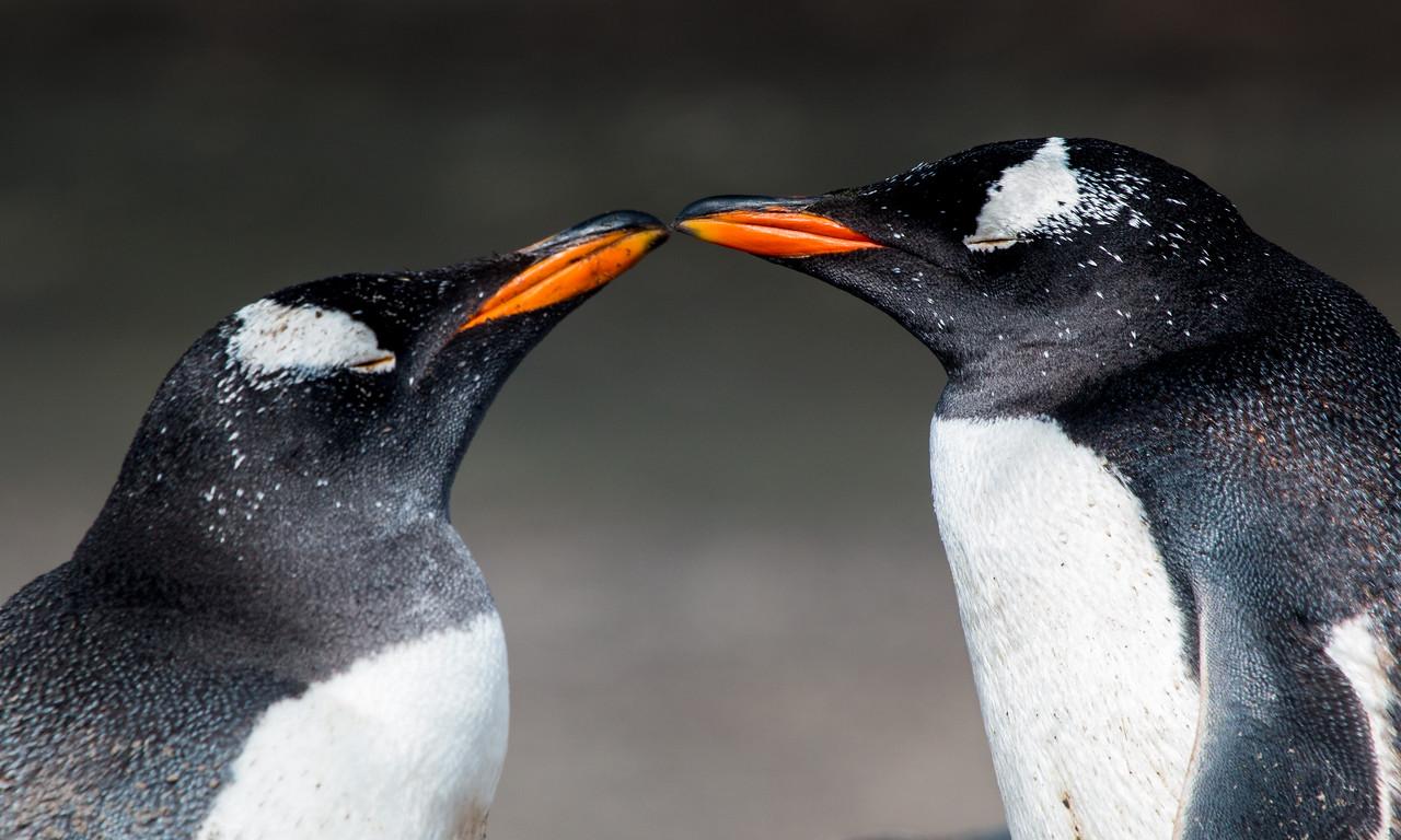 Pair gentoo penguins, Sea Lion Island, Falklands