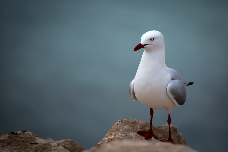 Silver gull, Baudin Beach, South Australia
