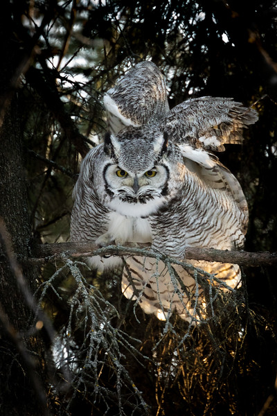 Great horned owl, Bubo virginianus, stretching in St. Albert, Alberta, Canada.
