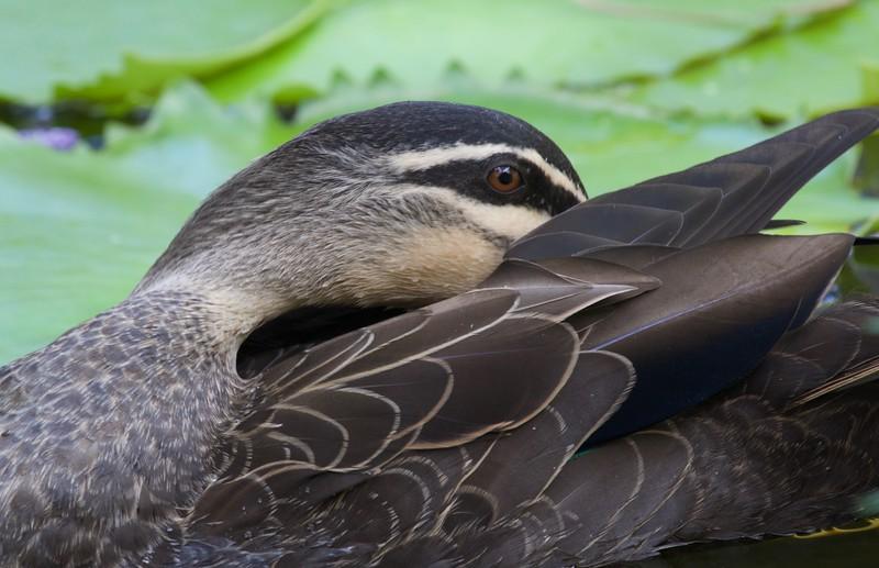 Pacific black duck, Buderim, Australia