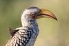 Hornbill<br /> Kruger, South Africa