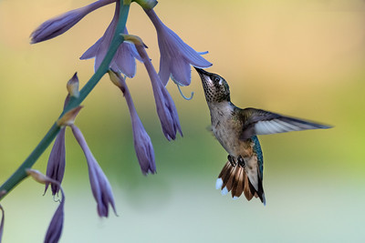 Female Rubey Throated Hummingbird