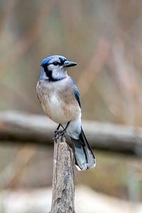 Blue Jay Pose