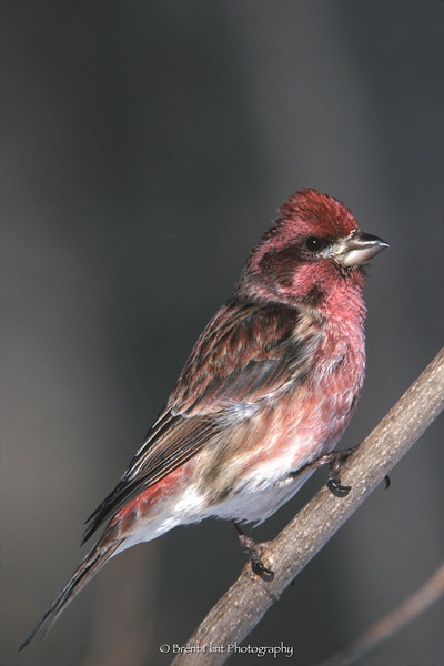 S.2815 - male purple finch, Itasca County, MN.