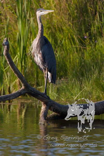 The past 4 years, its been a struggle to get even a fleeting photo of a Heron. I see them all the time, when I don't have a Camera. When I do have a camera... they are no where to be seen. Not just the great Blue Herons, but the other herons and egrets as well. <br /> <br /> Luckily this one was only momentarily curious about me. Taking that moment to pose as if instructed for the photo. Although it did make me late to get photos of Ospreys in the golden hour. Oh well, I'll take this shot.