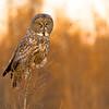 Great grey owl, Strix nebulosa, perched on larch tree near Westlock, Alberta, Canada.