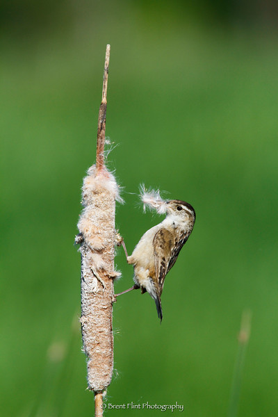 DF.4605 - marsh wren gathering cattail down for nesting material, Turnbull National Wildlife Refuge, WA.