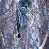 Great grey owl, Strix nebulosa, perhing near Drayton Valley, Alberta, Canada.