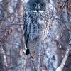 Great grey owl, Strix nebulosa, perhing near Drayton Valley, Alberta, Canada.