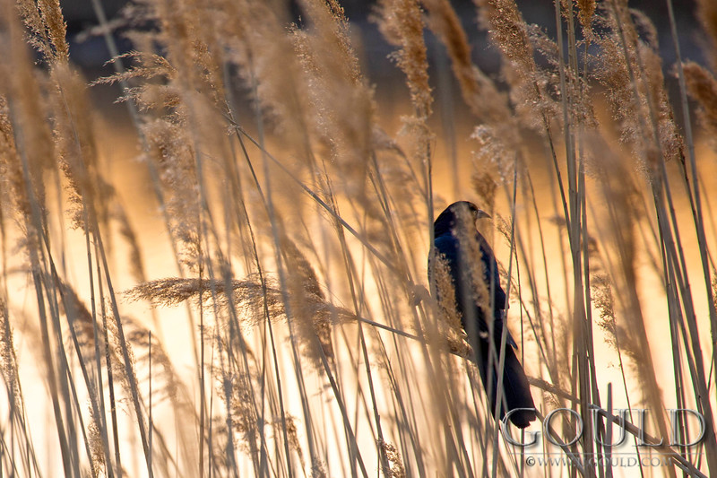 Grackle In The Reeds