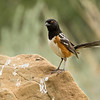 Spotted towhee, Pipilo maculatus, on rock in Dinosaur Provincial Park, Alberta, Canada.