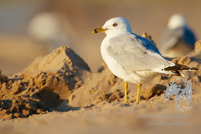 Gull in the Golden Hour