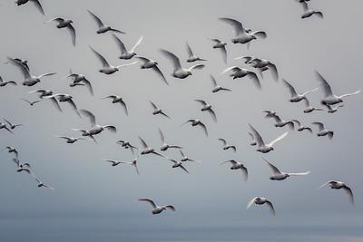 Snowy Sheathbills, Bleaker Island, Falklands