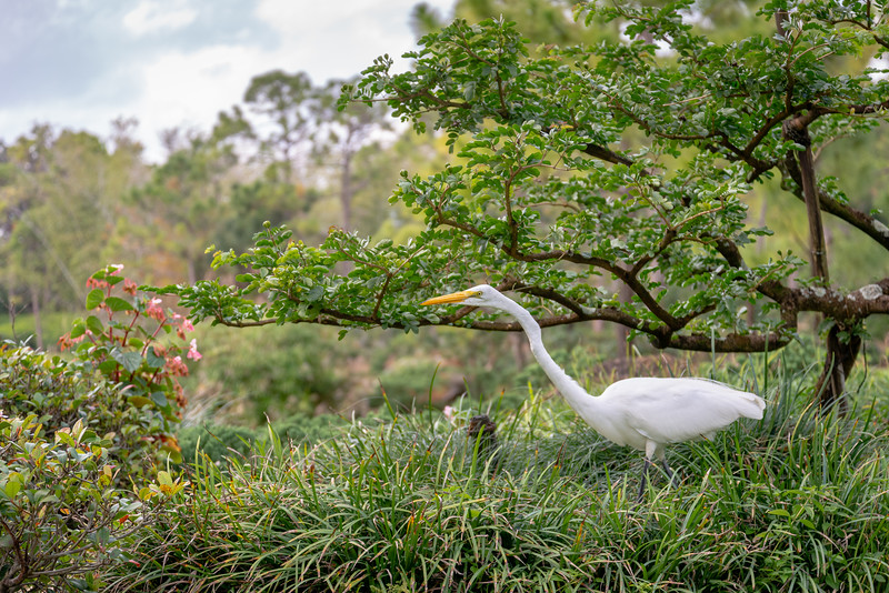 Great Egret In The Garden