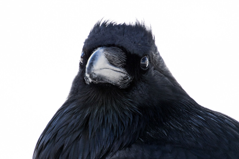 Common raven, Corvus corax, in Jasper National Park, Alberta, Canada.
