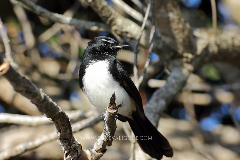 Willie Wagtail<br /> Byron Bay, NSW<br /> <br /> The Willie Wagtail (Rhipidura leucophrys) is a common bird in Australia, getting its name from the endearing manner in which it horizontally wags its tail while foraging on the ground.