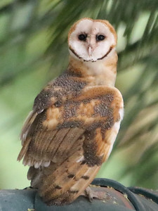 Barn Owl - Buho - Costa Rica