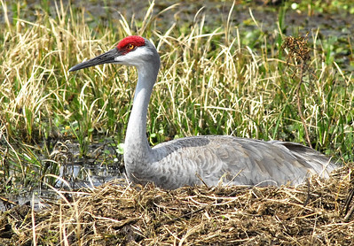 Florida Sandhill Crane sitting on nest near Lake Placid, Florida.