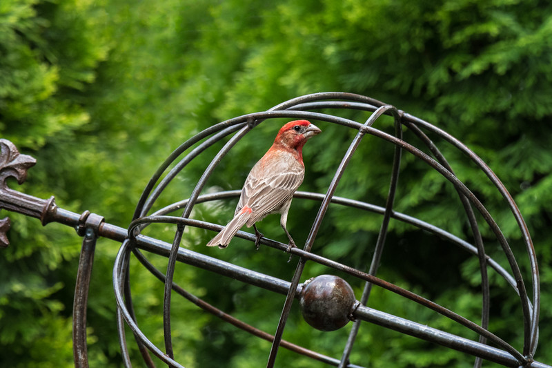 House Finch on an armillary sphere