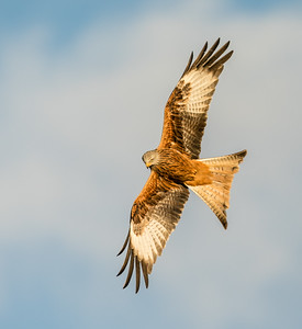 Red Kite Looking