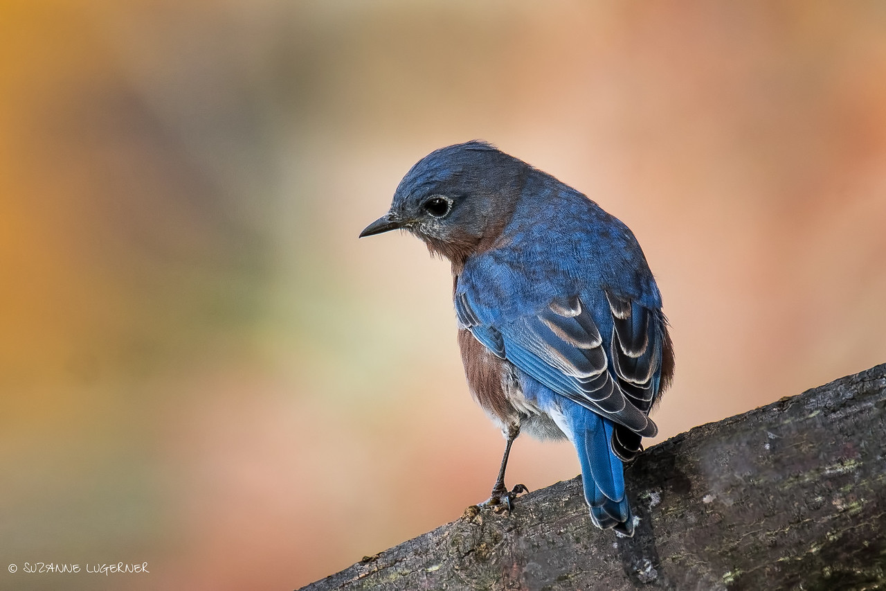 Bluebird in Autumn