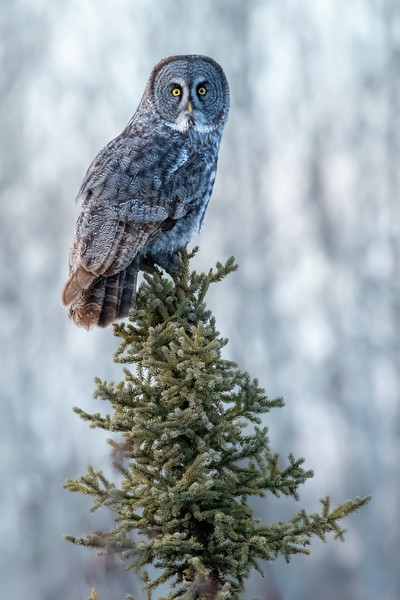 Great grey owl, Strix nebulosa, perching on white spruce near Westlock, Alberta, Canada.