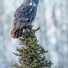 Great grey owl, Strix nebulosa, perching on white spruce near Westlock, Alberta, Canada.