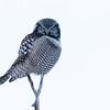 Northern hawk owl, Surnia ulula, near Redwater, Alberta, Canada.