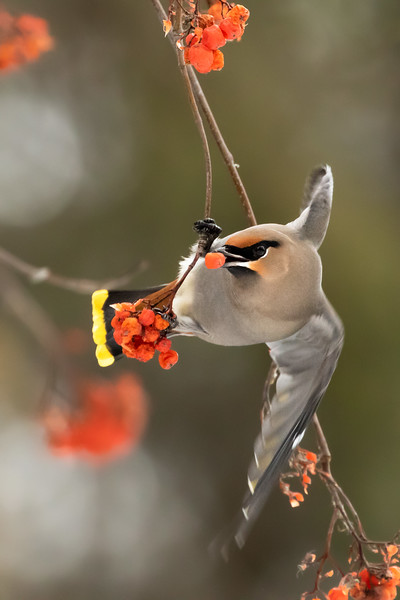 Bohemian waxwing, Bombycilla garrulus, eating from Mountain ash tree in St. Albert, Alberta, Canada.
