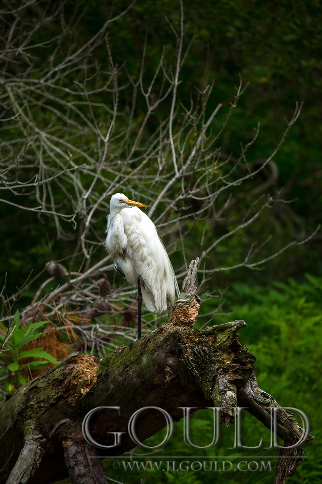Egret In The Woods