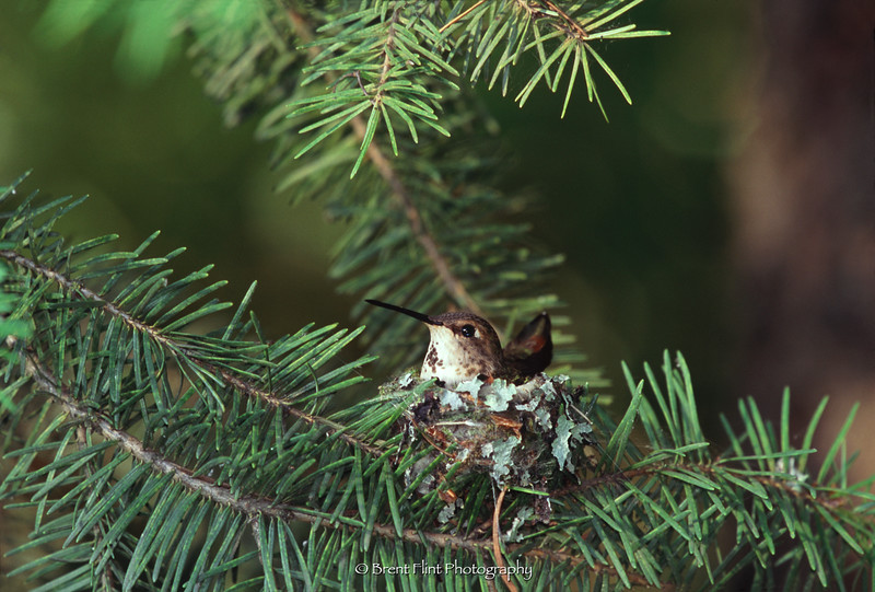 S.4834 - female broadtail hummingbird on nest in douglas fir, Kootenai County, ID.