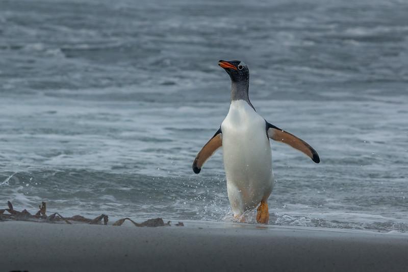 Gentoo penguin returning to shore, Sea Lion Island