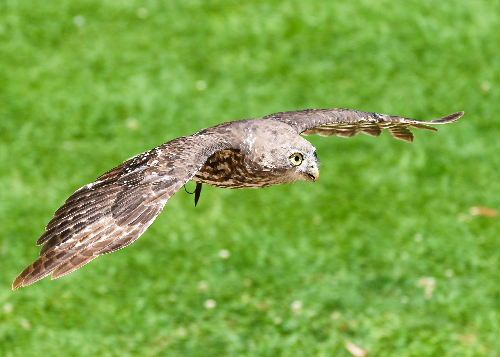 The Powerful Owl
