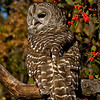 Barred Owl Looking Your Way