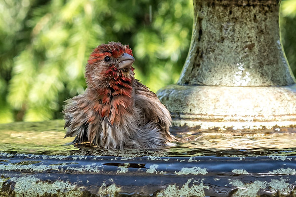 Purple Finch Bathing