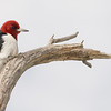 Red-headed Woodpecker in central Florida