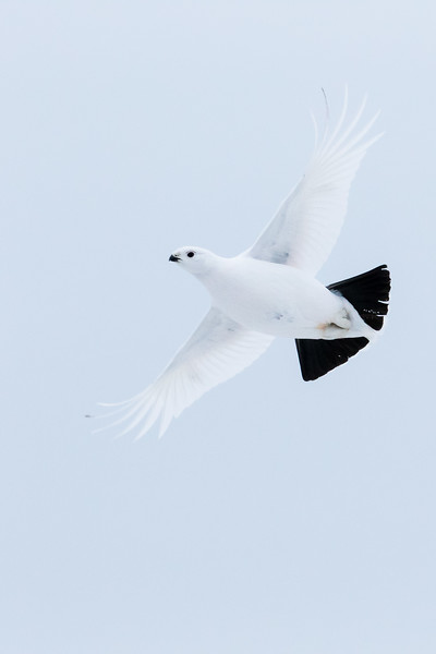 Willow ptarmigan, Lagopus lagopus, in flight near Fort Chipewyan, Alberta, Canada.