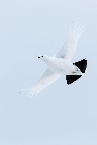 Willow ptarmigan, Lagopus lagopus, in flight near Fort Chipewyan, Alberta, Canada.