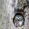 Northern saw-whet owl, Aegolius acadicus, in Edmonton, Alberta, Canada.