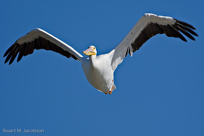 White Pelican  20071006-_V2R7918-Edit
