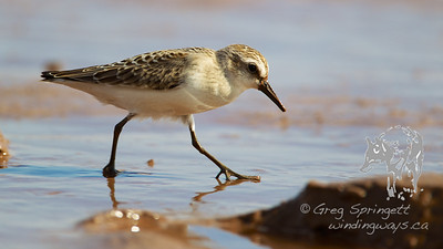 Portraits of Sandpipers