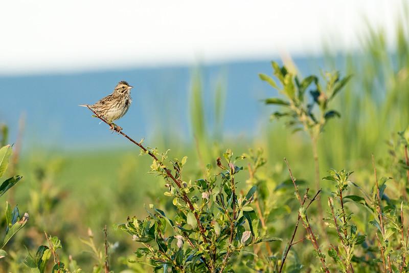 Savannah sparrow, Passerculus sandwichensis, with food near Dawson Creek, British Columbia, Canada.