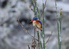 Malachite kingfisher on the Shire riverfront<br /> Liwonde, Malawi